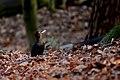 Black woodpecker (Dryocopus martius), Parc de Woluwé, Brussels (23664278783).jpg