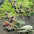 Blackberries at Hatfield Broad Oak, Essex, England 01.jpg