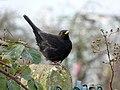 Blackbird (6818478723).jpg