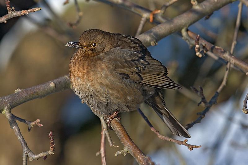 File:Blackbird female.jpg