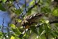 Blackburnian Warbler (female) Sabine Woods TX 2018-04-22 14-35-10 (41947534892).jpg