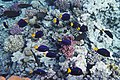 Blauer Segelflossendoktor (Zebrasoma xanthurum).DSCF7026OB.jpg