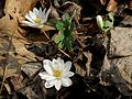 Bloodroot - Flickr - treegrow (5).jpg