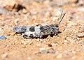 Blue-winged Grasshopper (30244423047).jpg