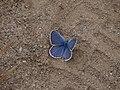 Blue Butterfly (9403850170).jpg