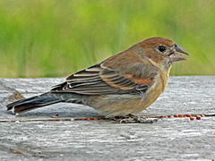 Blue Grosbeak female RWD2.jpg
