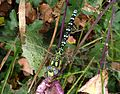 Blue Hawker. Aeshna cyanea. Young male. - Flickr - gailhampshire.jpg