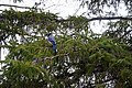 Blue Jay 0711 (4551393599).jpg