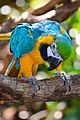 Blue and Yellow Macaw at Brevard Zoo.jpg