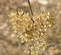Bluebeard Caryopleris incana 'Jason' Dried Flowers 2000px.jpg