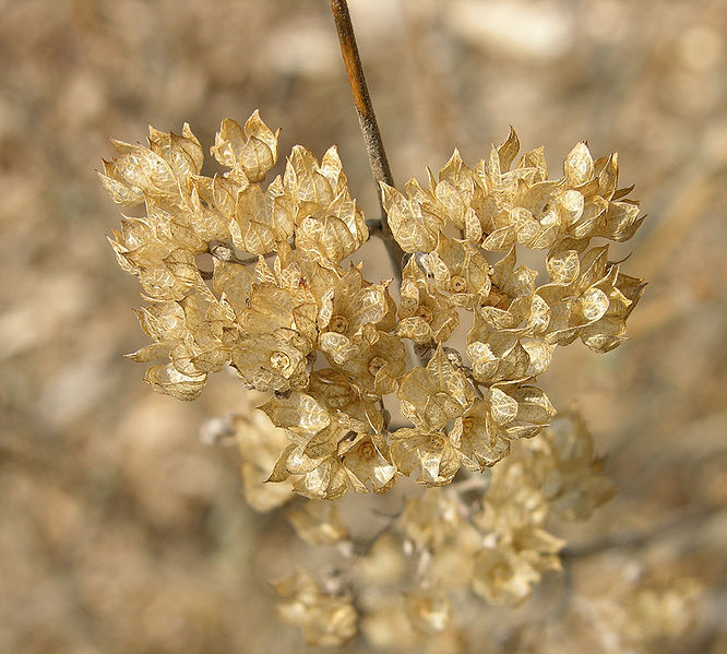 Fichier:Bluebeard Caryopleris incana 'Jason' Dried Flowers 2000px.jpg
