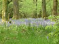 Bluebells in the woods - geograph.org.uk - 7807.jpg