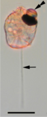 Light micrograph of a cell, translucent pink with darkly pigmented ocelloid retinal body at upper left and light, straight piston projection at bottom center.