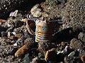 Bobbit worm (Eunice aphroditois) (14217679648).jpg