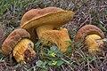 Boletus luridellus 814140.jpg
