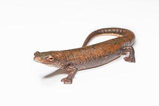 Cocle salamander