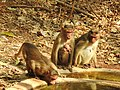 Bonnet Macaque Macaca radiata with young by Dr. Raju Kasambe DSCN0473 (5).jpg