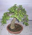 Bonsai of Elephant Bush 10.jpg