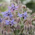 Borago officinalis-IMG 4345.jpg