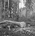 Bosbewerking, arbeiders, dieren, boomstammen, werktuigen, Bestanddeelnr 251-7984.jpg