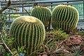 Botanischer Garten der Universität Basel - Goldkugelkaktus (Echinocactus grusonii).jpg