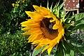 Botanischer Garten der Universität Zürich - Helianthus annuus 2010-08-24 17-37-48.JPG