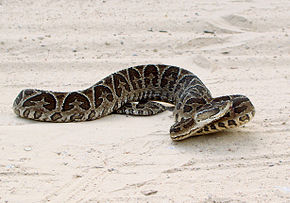 Description de l'image Bothrops alternatus in Brazil.jpg.