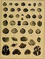 Brachiopod genera of the suborders Orthoidea and Pentameroidea (1932) (20407528645).jpg