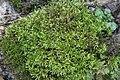 Brachythecium rivulare IMG 3110.jpg
