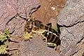 Bradyporus karabagi-2.jpg