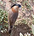 Brahminy Starling (Sturnus pagodarum)- Top view at Hodal I Picture 0126.jpg