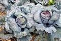 Brassica oleracea Ruby Perfection kz1.jpg