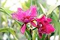 Brassolaeliocattleya Owen Holmes Cloud Forest 1zz.jpg