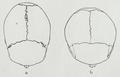 Braus 1921 388.png