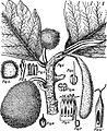Breadfruit tree.jpg