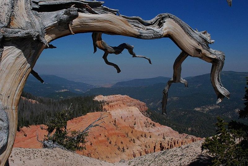File:Bristlecone Pine Cedar Breaks UT.jpg
