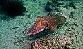 Broadclub Cuttlefish (Sepia latimanus) (6086141325).jpg