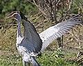 Brolga (Grus rubicunda) - Flickr - Lip Kee (4).jpg