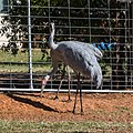 Brolga at Boulia Wildlife Haven Herbert St Boulia Queensland P1030323.jpg