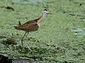 Bronze-winged Jacana (Immature) I IMG 7760.jpg