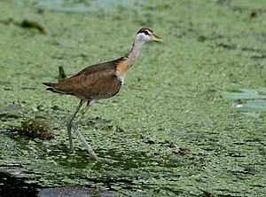 Bronze-winged jacana - Immature in Kolkata, West Bengal, India.