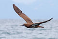 Brown-Booby-flight.jpg
