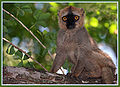 Brown Lemur in Berenty.jpg