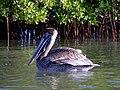 Brown Pelican, Red Mangrove - Flickr - bob in swamp.jpg