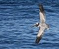 Brown Pelican (38977934740).jpg