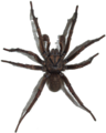 Brown Trapdoor Spider, transparent background.png