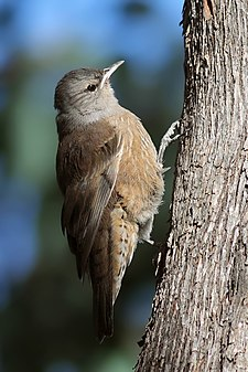 Brown Treecreeper edit.jpg