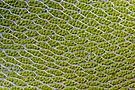 Bryum capillare leaf cells.jpg