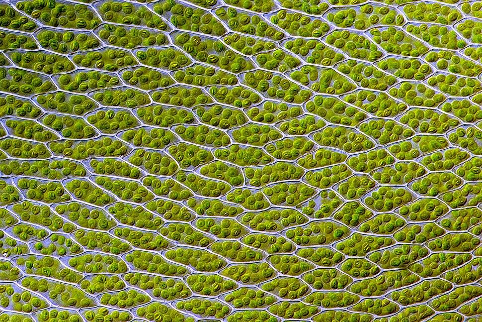 Bryum capillare leaf cells