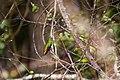Buff-bellied hummingbird (39852715263).jpg